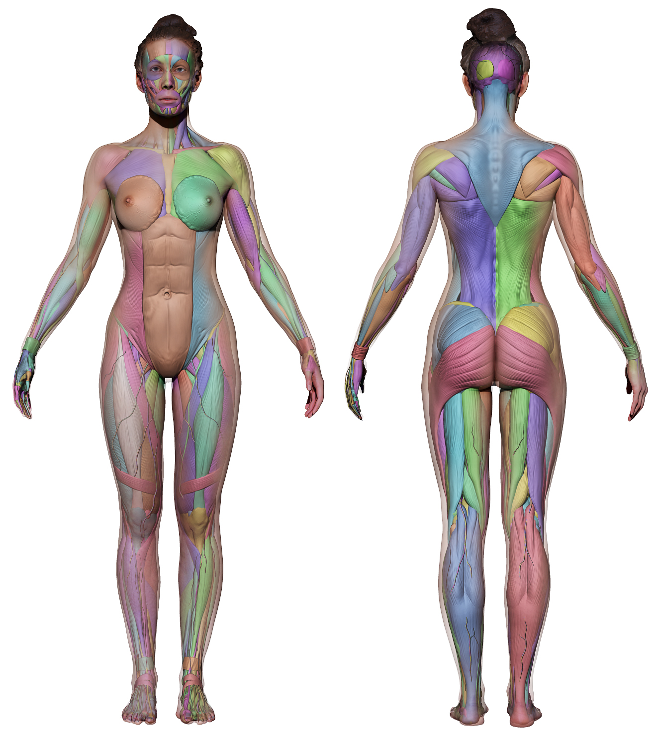 Anatomy 360 Female Ecorche Work In Progress Anatomy 360